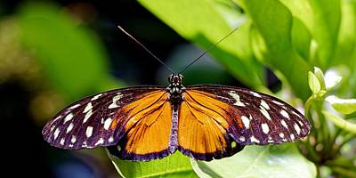 Photograph - Polymorphic Longwing - Heliconius Hecale by KJ Swan
