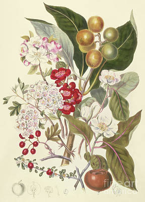 Drawing - Pomaceae, The Apple Tribe  by English School