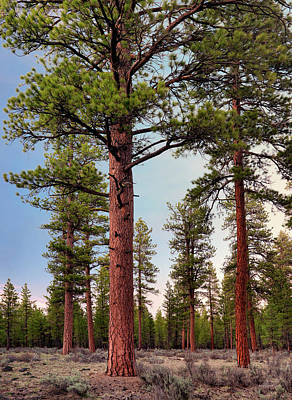 Photograph - Ponderosa Forest by Leland D Howard