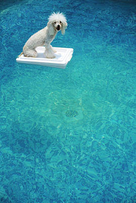 Dog Swimming Wall Art - Photograph - Poodle On Flotation Device In Swimming by Gabe Palmer