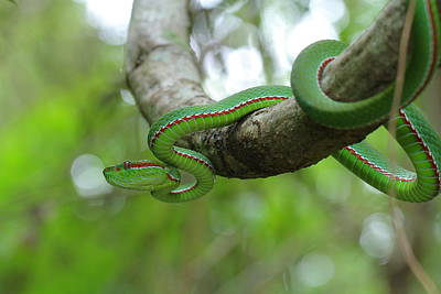 Photograph - Popes Green Pit Viper by Bug Eye Thailand
