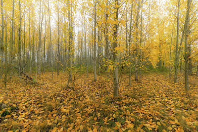 Wall Art - Photograph - Poplar Tree Forest In Oregon During Fall Season by David Gn