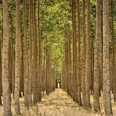 Photograph - Poplars In Boardman by Michelle Calkins