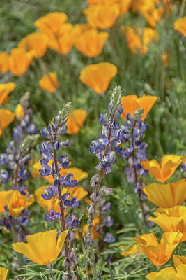 Photograph - Poppies And Mountain Lupine 5585-030519 by Tam Ryan