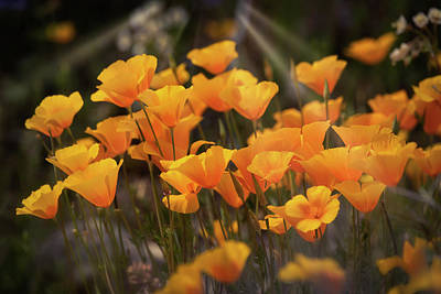 Photograph - Poppies By Dawn's First Light  by Saija Lehtonen