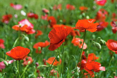 Photograph - Poppies In The Field by Tom Buchanan