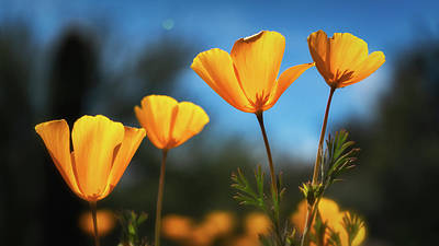 Photograph - Poppies In The Sun  by Saija Lehtonen