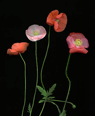 Photograph - Poppies Papaver On Black by John Grant