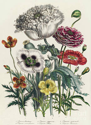 Drawing - Poppies, Plate Iv From The Ladies' Flower Garden, Published In 1842 by Jane Loudon