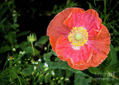 Photograph - Poppy by Cheryl McClure