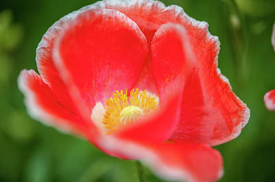 Photograph - Poppy In Bloom by Mark Duehmig