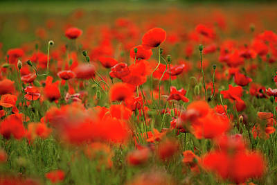 Aloha For Days - Poppies by Lichtfresser
