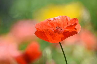 Photograph - Poppy Pastel by Fraida Gutovich