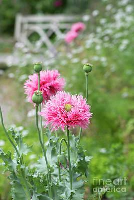 Photograph - Poppy Pink Venus Flowers by Tim Gainey