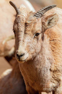 Photograph - Portrait Of A Baby Bighorn by Steve Krull
