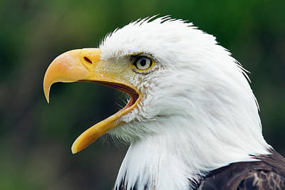 Open Photograph - Portrait Of A Bald Eagle With An Open by Philippe Henry / Design Pics