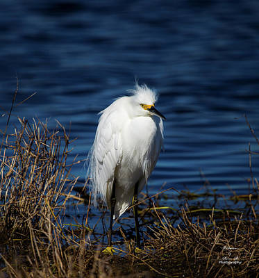 Photograph - Portrait Of A Egret by Kevin Banker