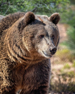 Photograph - Portrait Of A Female Grizzly Bear by Gloria Anderson