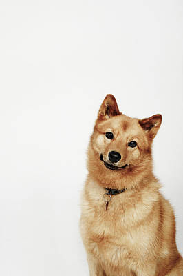 Portrait Of A Finnish Spitz Dog Smiling Art Print by Flashpop
