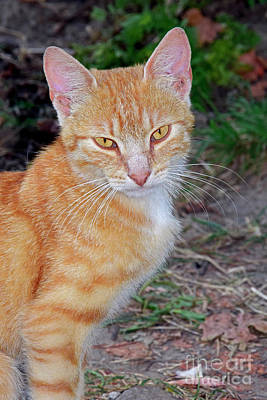 Latidude Image - Portrait of a ginger tabby by Tibor Tivadar Kui