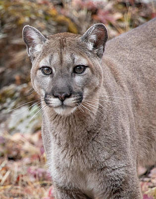 Photograph - Portrait Of A Mountain Lion 6749 by Teresa Wilson