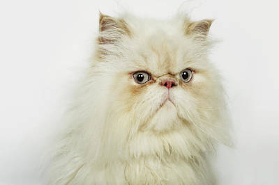 Portrait Of A Persian Cat Art Print by Flashpop