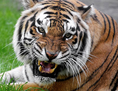 Photograph - Portrait Of An Aggressive Bengal Tiger by Empphotography