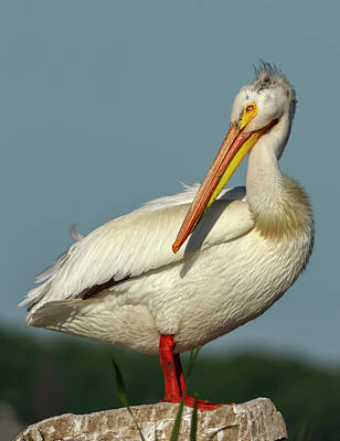 Photograph - Portrait Of An American White Pelican 2014-1 by Thomas Young