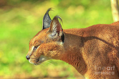 Photograph - Portrait Of Caracal by Benny Marty