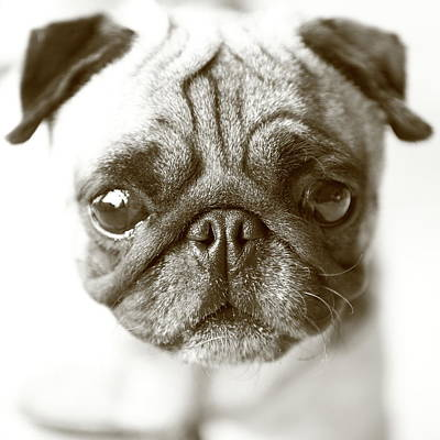 Photograph - Portrait Of Dog by Alexandery Www.flickr.com/photos/alexyo1968/