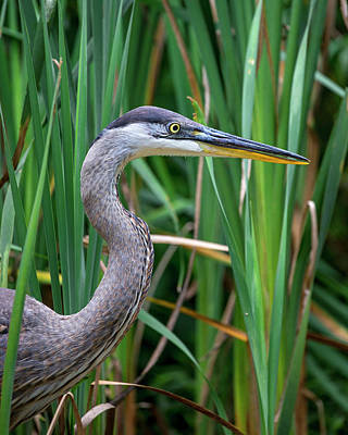 Photograph - Portrait Of Great Blue Heron by Alan Raasch