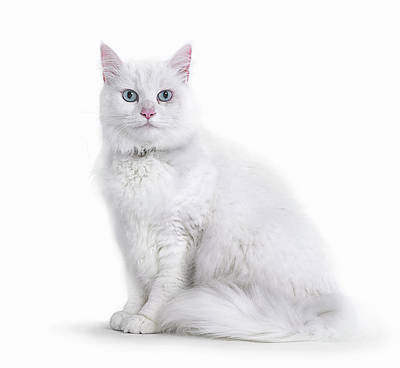 Photograph - Portrait Of White Cat by Gandee Vasan