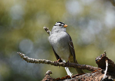 Photograph - Portrait Of White Crowned Sparrow by Fraida Gutovich