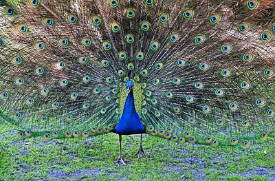 Photograph - Posing Peacock by Michiale Schneider