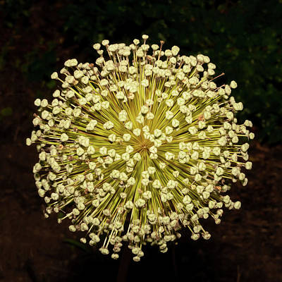 Photograph - Post Bloom Allium by Gary Slawsky