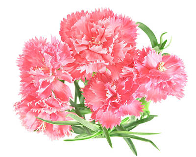 Photograph -  Posy Of Pink Carnations by Sheryl Caston