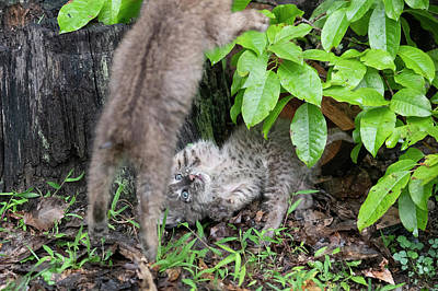 Photograph - Pouncing On Your Opponent by Dan Friend