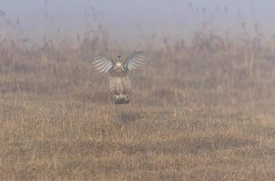 Photograph - Prairie Chicken 2019-3 by Thomas Young