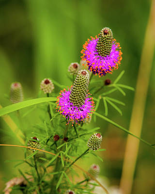 Photograph - Prairie Clover by Jeff Phillippi