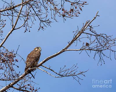 Photograph - Prairie Falcon by Alma Danison