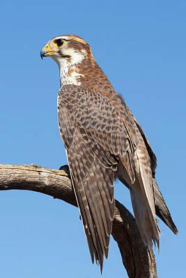 Photograph - Prairie Falcon Portrait by Kathleen Bishop