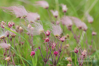 Photograph - Prairie Smoke by Sheila Skogen