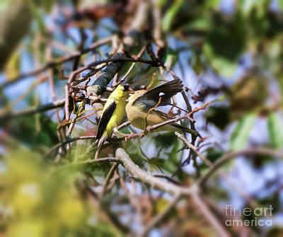 Photograph - Precious Moments - Goldfinch Feeding Baby by Kerri Farley