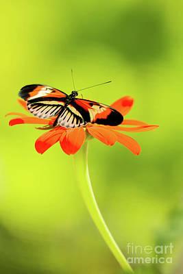 Photograph - Precious Piano Key Butterfly by Sabrina L Ryan