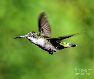 Music Figurative Potraits - Precision Flyers - Ruby-throated Hummingbird by Cindy Treger