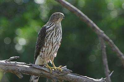 Photograph - Treetop Predator by Fraida Gutovich