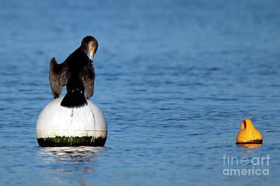Photograph - Preening Cormorant by Terri Waters