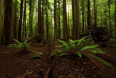 Photograph - Prehistoric Redwoods by TL Mair
