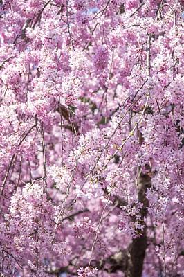 Photograph - Cherry Blossom Spring by Thats My Style