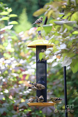 Photograph - Pretty Goldfinches At Feeder by Carol Groenen